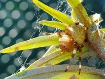spindeln för quadratusen för Fyra-fläcken orb-vävaren araneusen sitter i en rengöringsduk på en filial arkivfoton