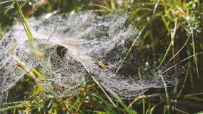 Spindeln förtjänar i makro med många droppar stock video