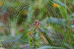 Spindeln i dagg räknade rengöringsduk royaltyfri fotografi