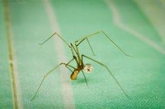 Spindeln tar omsorg dess ägg på gräsplan royaltyfria bilder