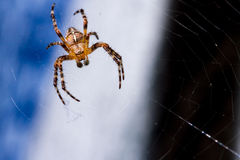 Spindeln väntar på hans rengöringsduk Royaltyfria Bilder
