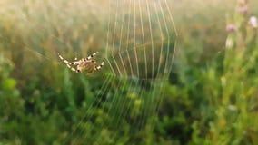 Spindeln väver en rengöringsduk på morgon stock video