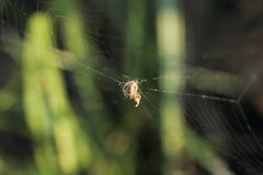 Spindeln väver på en rengöringsduk av en grön bakgrund Royaltyfri Bild