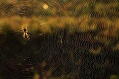 Spindeln väver spindelnätet i en sommarmorgon fotografering för bildbyråer