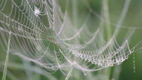 Spindelrengöringsduk med dagg som svänger i vinden på ett dimmigt morgonslut upp, fåglar som sjunger, näktergal lager videofilmer