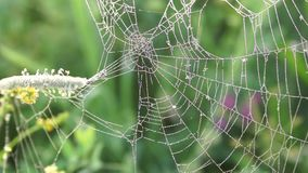 Spindelrengöringsduk med daggdroppar tidigt på morgonen på en äng stock video