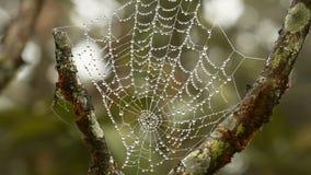 Spindelrengöringsduk med droppe av dagg i morgon stock video