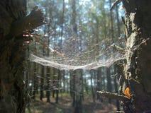 Spindelrengöringsduk mellan träden Arkivfoton