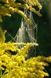 Spindelrengöringsduk på en filial av mimosan Arkivfoto