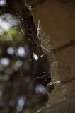 Spindelrengöringsduk på en gammal tegelstenvägg Royaltyfri Fotografi