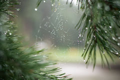 Spindelrengöringsduk på ett träd i skogen Fotografering för Bildbyråer