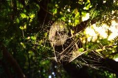 Spindelrengöringsduk på träd i aftonen på bygd royaltyfri bild