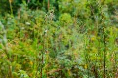 Spindelrengöringsduken som sträcks mellan ris Royaltyfri Bild