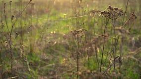 Spindelreng?ringsduk med en stor spindel p? de torra tansyblommorna i str?larna av inst?llningssolen stock video