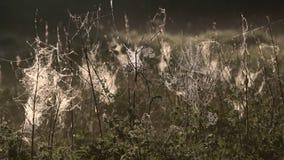 Spindelreng?ringsduk med morgondagg som h?nger p? gr?set i f?lten Abstrakt modell av spindelrengöringsduken som täckas med regnsm lager videofilmer