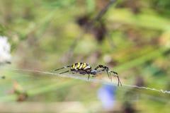 Spindelsammanträde i rengöringsduken Royaltyfri Foto