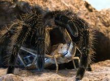 spindeltarantel Arkivfoto
