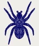 Spindeltarantel Royaltyfria Bilder