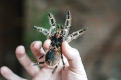 Spindeltarantel i handen av mannen Närbilden är hörntänderna av en spindel arkivfoton