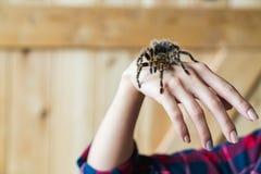 Spindeltarantel på armen för man` s Fotografering för Bildbyråer