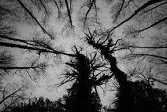 Spindelträd Arkivbilder
