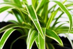 Spindelväxt i en kruka av kol Royaltyfri Fotografi