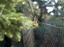 spindelwib Arkivbilder
