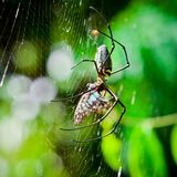 Spindlar äter malar Arkivfoto
