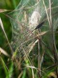 Spindlar bygga bo med hatchlings som dyker upp precis - naturvårfödelse Arkivbilder
