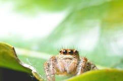 Spindlar som hoppar apelsinen i natur i makrosikt Royaltyfri Bild