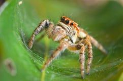 Spindlar som hoppar apelsinen i natur i makrosikt Arkivbild