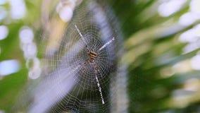 Spindlarna på spindelnätet arkivfilmer