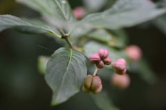 Spindle (Euonymus europaeus) Royalty Free Stock Photography