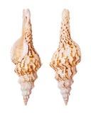 Spindle Seashells Royalty Free Stock Photography