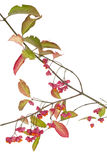 Spindle tree Royalty Free Stock Photography