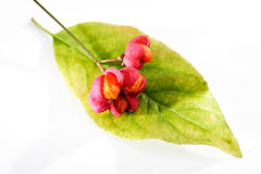 Spindle tree, berries, leave Royalty Free Stock Photography
