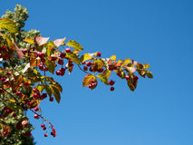 Spindle Tree Royalty Free Stock Images