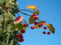 Spindle Tree Stock Images
