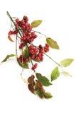 Spindle tree (Euonymus europaeus) Stock Images