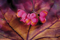 Spindle tree (Euonymus europaeus) Royalty Free Stock Photography
