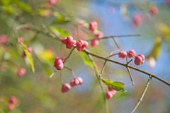 Spindle Tree (Euonymus) fruits Stock Photography