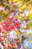 Spindle tree leaf on natural autumnal blurred background Royalty Free Stock Photography