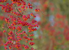 Spindle tree macro nature. Background royalty free stock image