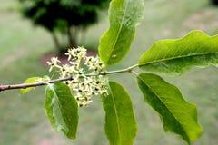Spindletree του Χάμιλτον ` s, άξονας Himalayan, hamiltonianus Euonymus στοκ φωτογραφίες