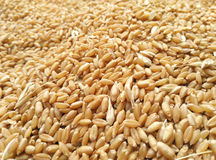 spindly wheat spread Royalty Free Stock Photography