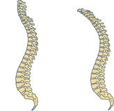 Spine Stock Photography