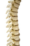 The spine Stock Images