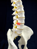 Spine. Human Spine with connection Disc Incident Stock Photo