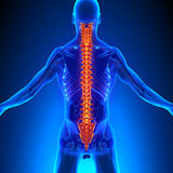 Spine Anatomy with Ciculatory System. With highlighted zone - pain concept Royalty Free Stock Photo