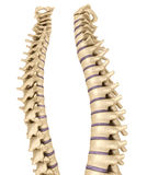 Spine anatomy , 3d render. Over white Royalty Free Stock Images